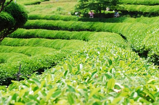 Cánh đồng trà ở Boseong