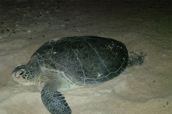 Xem rùa để trứng ở Côn Đảo