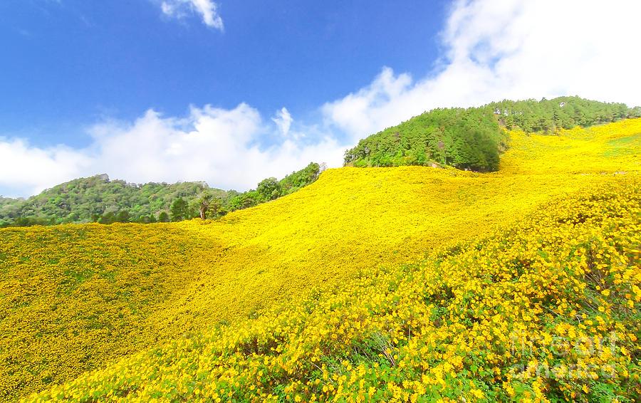 Mùa hoa dã quỳ vàng rực