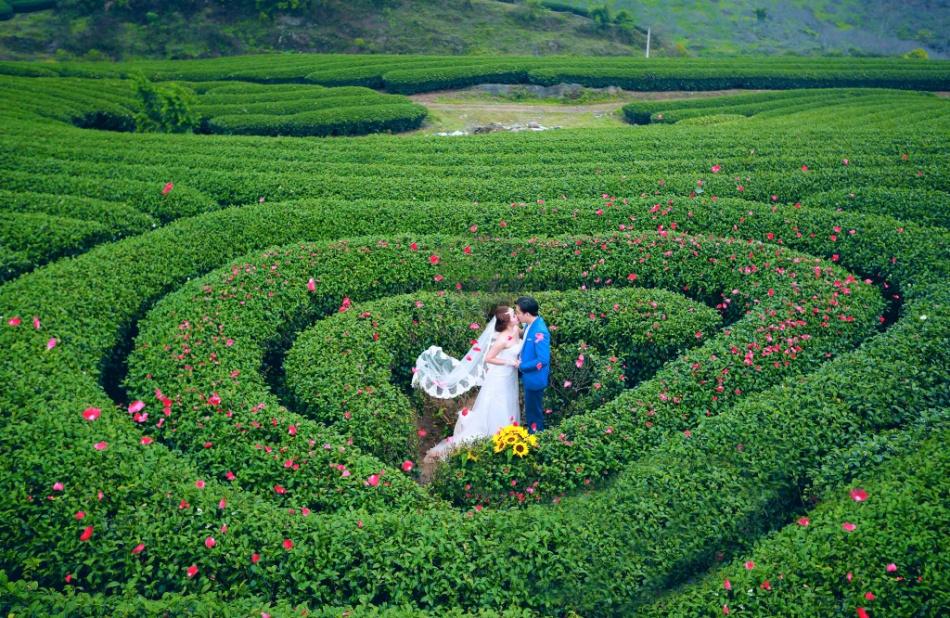 Vườn chè Mộc Châu