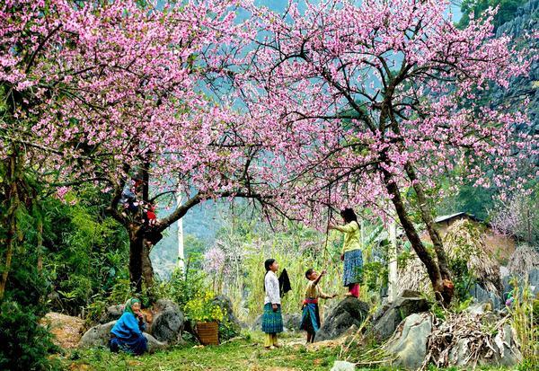 Mộc Châu - hoa đào nở khắp buôn làng