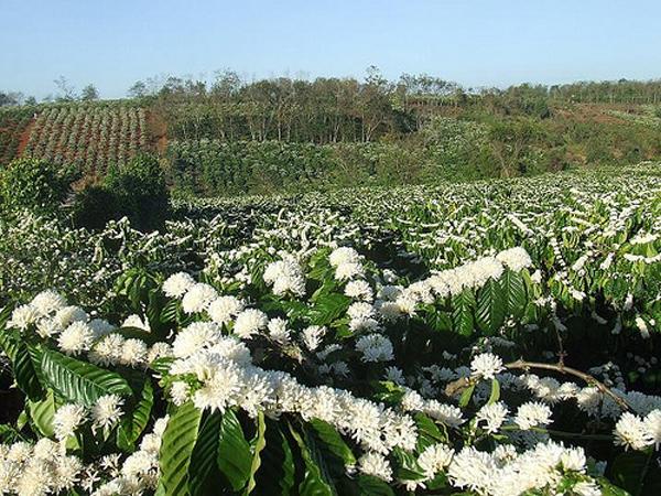 Tây Nguyên tháng 3 rợp trắng hoa cafe